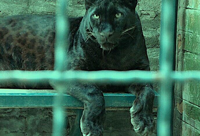 Peter M., Puma in the Belgrade Zoo, 2010